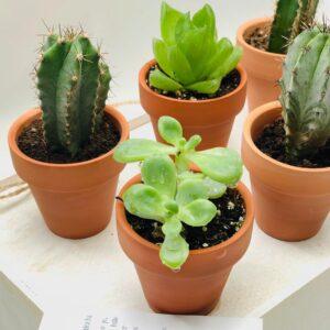 Detalle más cercano de las mini plantitas crasas o cactus para bodas o celebraciones