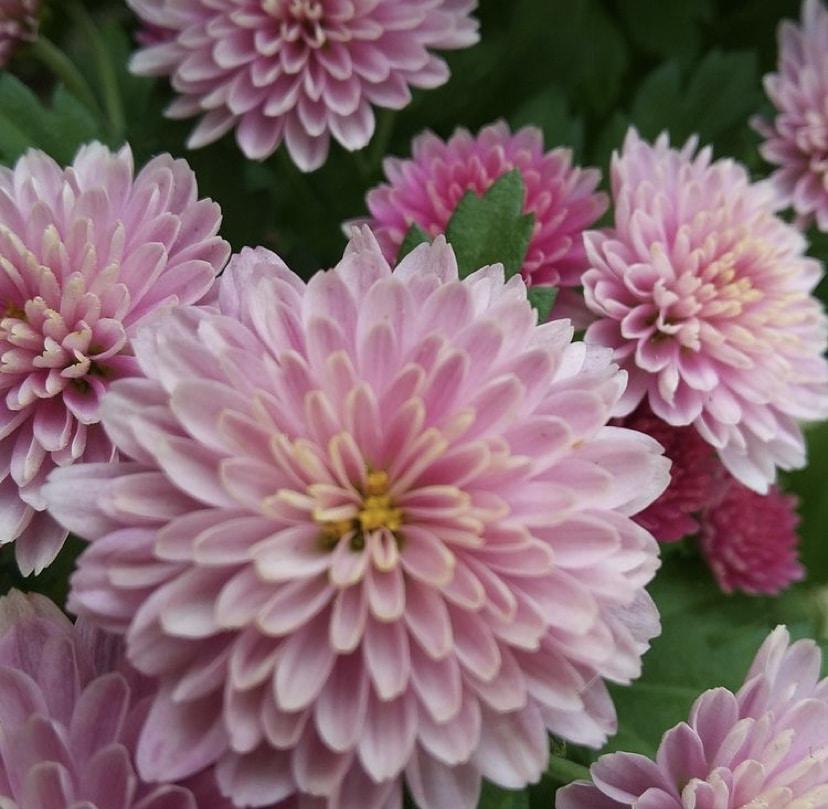 Los Crisantemos flores que en otoño tambien las encontraran super bonitas