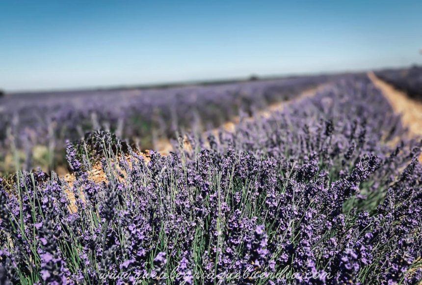 Campos de Lavanda: Nuestra flor favorita